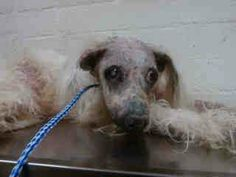 CA PLEASE HELP ME OR I WILL DIE - Pound Pets  OWNER DUMP ILL OMG SENIOR ALERT LOOK AT THIS POOR DOG BALDWIN PK CALI  My name is Pretty and I'm an approximately 15 year old fem. maltese not yet spayed. I have been at the Baldwin Animal Care Center since February 11, 2014. I will be available on February 15, 2014.  at B709.  626-962-3577 626-430-2378 https://www.facebook.com/photo.php?fbid=687348511317796&set=a.493172170735432.126016.100001279618851&type=1&theater