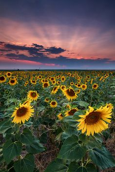 "Near the End by Ryan C Wright on Flickr. ""Sunflower fields in Colorado only last for a few weeks at the most and signal the approaching end of the summer too."""