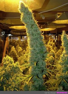 Christmas Trees Marijuana Buds