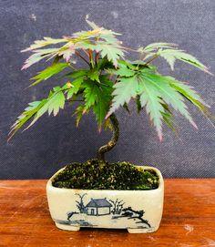 Bonsai maple