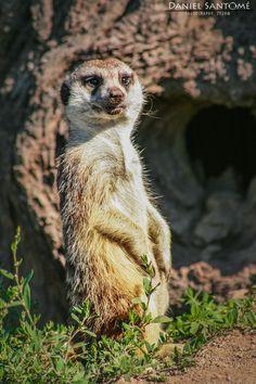 """""""El Vigía"""", suricata vigilando la zona en Marcelle Natureza."""