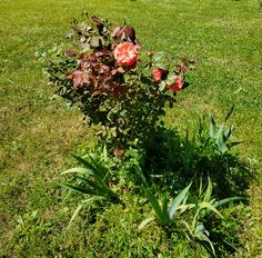 Who loves the smell of Lavender? Roses? We planted 6 new rose bushes this year. The coral pink one is my favorite and oldest rose bush.  #roses #flowers #smellbeautiful #summer Old Rose, Lavender Roses, Rose Bush, Cloak, Coral Pink, Artwork, Flowers, Plants, Summer