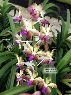 1000 images about orchids quot vanda quot on pinterest vanda