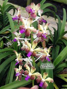 Ascocenda Vanda Orchid Care | Vanda Loke