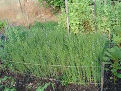 Flax- the fiber version of the plant. Plant with grains in the annual part of the exterior garden.