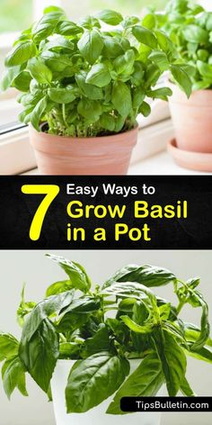 Experiment with growing Thai, Italian, and sweet basil leaves in the comfort of your home. All you need are grow lights, mulch, and the last frost date of spring to start growing basil and preserve them in ice cube trays with olive oil. #grow #basil #pot Growing Herbs, Growing Vegetables, Gardening For Beginners, Gardening Tips, Types Of Herbs, Basil Plant, Herbs For Health, Basil Leaves, Grow Organic