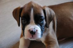 My lovely boxer puppy (PC)   ~She is absolutely adorable