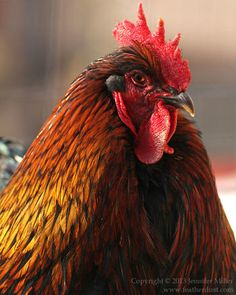 Marek's Disease - The Great Big Giant Marek's Disease FAQ - BackYard Chickens Community