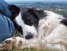 Sleepy Border Collie