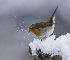 Robin in snow ❄❄❄❄❄