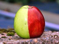 Sólo una de cada millón de manzanas tienen un aspecto como la de las imágenes. Y muy pocas de ellas tienen una línea que divida el color de forma tan perfecta como ésta. La manzana, de la variedad Golden Delicious, fue encontrada en 2009 en Colaton Raleigh (Reino Unico) por el agricultor Ken Morrish. La causa más probable es una mutación genética aleatoria en una de las dos primeras células que formaron el fruto. Lo que se conoce como quimera.