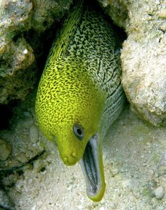 Yellow moray by Janek Schuffenhauer