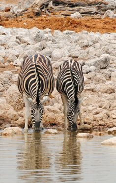 Zebra at the water hole, first there were two.