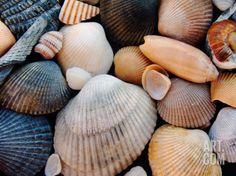 Shells on Edisto Beach, Edisto Beach State Park, South Carolina, USA Photographic Print by Scott T. Smith at Art.com