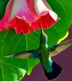 """Flor de Maga """"Thespesia grandiflora"""", flor nacional de Puerto Rico y un colibri."""