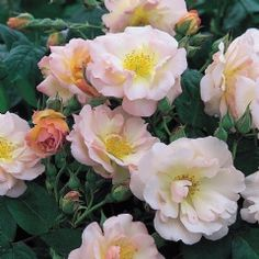 'Penelope' produces large trusses of coppery-salmon tinted buds. These open to creamy pink, medium-sized, semi-double flowers with prominent yellow stamens, later paling almost to white. The delicious fragrance combines musk from the stamens with fruit from the petals. 'Penelope' flowers with great freedom and repeats well. The flowers are followed by coral-pink hips – a rare bonus in a repeat-flowering rose. - want this one bad.  Need something that will produce nice hips.