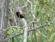 Bird Photos, Birding Sites, Bird Information: BREEDING MALE RED-BACKED FAIRY-WREN, GRANITE GORGE...