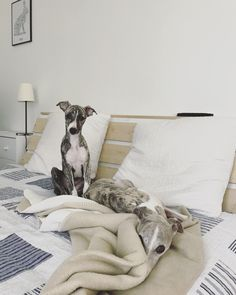 Animals And Pets, Baby Animals, Cute Animals, Baby Giraffes, Whippet Puppies, Dogs And Puppies, Doggies, I Love Dogs, Cute Dogs