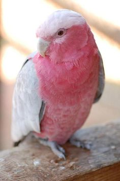 Galah – Also known as the Rose-breasted Cockatoo. It can be found in almost all parts of Australia. Galah – Also known as the Rose-breasted Cockatoo. It can be found in almost all parts of Australia. Pretty Birds, Love Birds, Beautiful Birds, Animals Beautiful, Pretty In Pink, Cute Animals, Animals Amazing, Pink Animals, Cute Pink