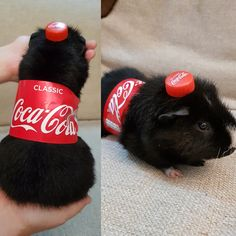 /u/Bewbusk's girl friend's late night idea with their guinea pig http://ift.tt/2wRzJfy