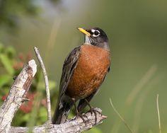 Turdus migratorius - American Robin -- Sighted: New York, etc.