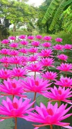 Gorgeous Group of Water-Lilies: Nymphaea [Family: Nymphaeaceae] Unusual Flowers, Amazing Flowers, Beautiful Roses, Beautiful Gardens, Pink Flowers, Beautiful Flowers, Exotic Plants, Flowers Nature, Water Lilies