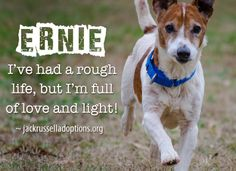 Today's featured Jack Russell rescue for adoption, foster or sponsorship - Ernie!