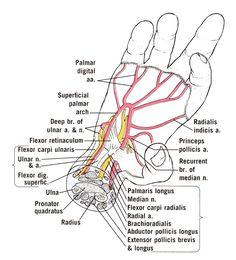 deep palmar space of hand - 236×260