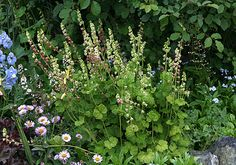 """Tellima grandiflora """"Fringe Cups"""" perennial blooms SPRING, 30"""" tall, creeping, part shade. zones 4-10.   Plant near entry way or in birch garden."""