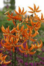 FRAGRANT Lily Bulb - L. martagon x 'Orange Marmalade'