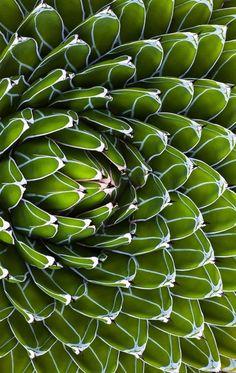 Agave victoriae-reginae (Queen Victoria agave, royal agave), drought tolerant succulent