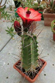 cactus with flowers # Unusual Flowers, Unusual Plants, Rare Flowers, Exotic Plants, Amazing Flowers, Cacti And Succulents, Planting Succulents, Planting Flowers, Flowers Garden