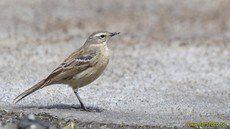 ♫ Bisbita Alpino - Escucha la voz del pájaro