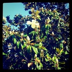 I'm going to miss the big magnolia tree in our backyard. And the camellias, the blooming cherry tree, the crepe myrtles...