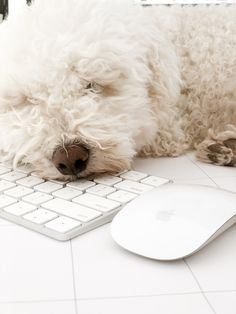 Puppy - Dog - Animal - Cute - Sleeping - Sleep - Computer - Mac - Poodle - Graphic Designer Poodle, Dogs And Puppies, Mac, Sleep, Interiors, Graphic Design, Photo And Video, Lifestyle, Studio