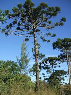 Araucaria angustifolia, Brazil