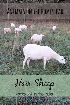 Animals on the homestead: hair sheep Sheep Shelter, Pet Sheep, Sheep Farm, Sheep Wool, Raising Farm Animals, Raising Goats, Fish Farming, Goat Farming, Backyard Farming