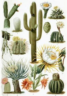 types of cactus - Google Search