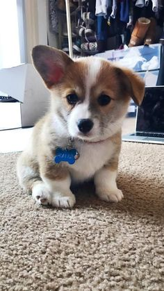 Cute corgi, welsh corgi puppies, corgi mix, cute dogs and puppies, baby Cute Corgi Puppy, Welsh Corgi Puppies, Cute Dogs And Puppies, Teacup Puppies, Lab Puppies, Shepherd Puppies, Baby Corgi, Puppies Tips, Teacup Chihuahua