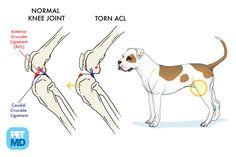Cranial Cruciate Ligament Medical Diagram - what Gaia has??