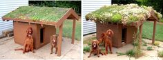 Sustainable, green roof dog house w/succulents.  (Pic on left is the new house w/a green roof; pic on the right is the same house 3 years later.)