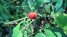 Bright red berries on jack in the pulpit