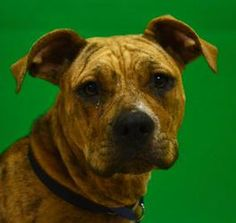 ruby is an adoptable Pit Bull Terrier Dog in Denton, TX. �6-12 months, available now. � Adoption fee is $60.� It pays to have the dog spayed or neutered; Rabies, Bordetella and DHLPP Vaccines; treatme...