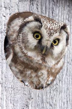 Hu huu #owl