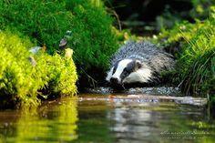Photograph European badger by Stanislav Duben on 500px