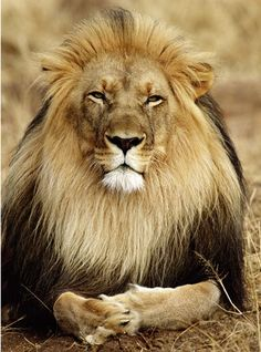 Most male lions are about 9 feet (2.7 meters) long and weigh 400 to 500 pounds (181 to 227 kilograms). Lions are the only large cats with manes. A lion's roar can be heard up to 5 miles.