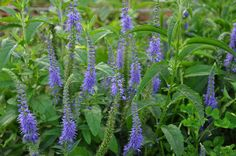 Speedwell blooming