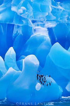 Chinstrap penguins on iceberg, Antarctica © Frans Lanting