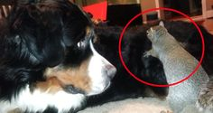 Watch How This Squirrel Hides Nuts In Dog Fur. This Bernese Mountain Dog Seems Completely Cool With It! LOL