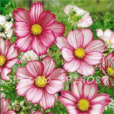 100 Pcs Mixed Colors Cosmos Seeds Heirloom Persian Colorful Chrysanthemum Potted Balcony Perennial Flowers Garden Plants